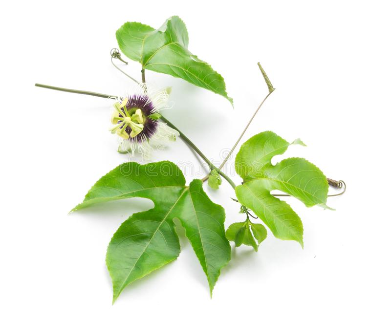 Green leaves and brace of passion fruit with flower on white background royalty free stock image