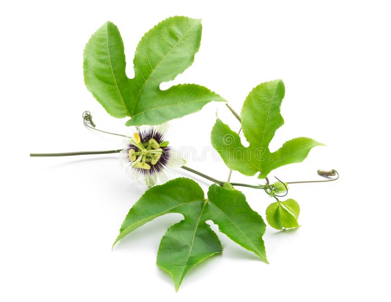 Green leaves and brace of passion fruit wiht flower on white background royalty free stock photos
