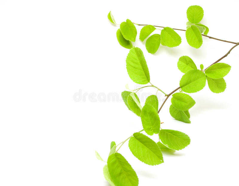 Download Green leaves branch stock image. Image of spring, flora - 13063753