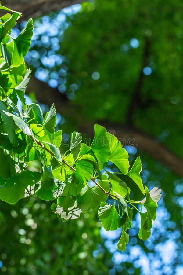 Green leaves on branch of the Ginkgo biloba tree royalty free stock image