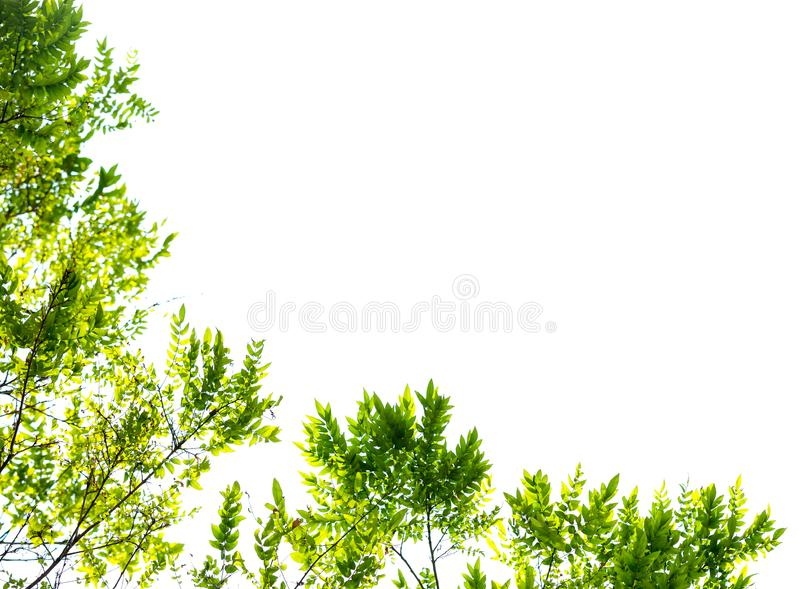Green leaves and branches isolate on white background for abstract texture environment nature stock image