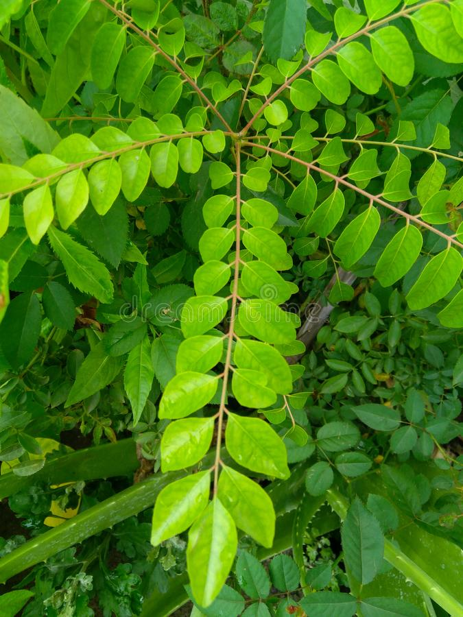 Green leaves branches in plant, pattern photography stock image