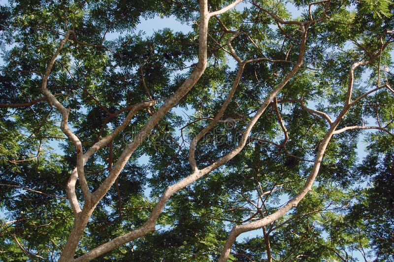 Green leaves in branches of tree during daytime out of town. Green leaves in branches of tree during daytime with blue skies and clouds at out of town stock image