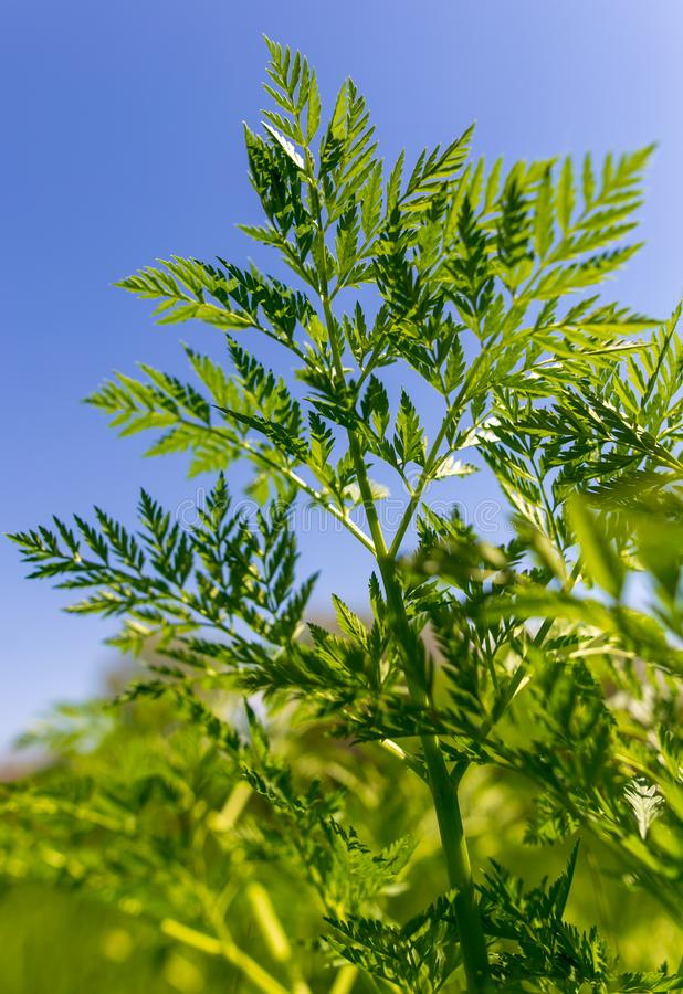 Green leaves on carrot in spring royalty free stock photos