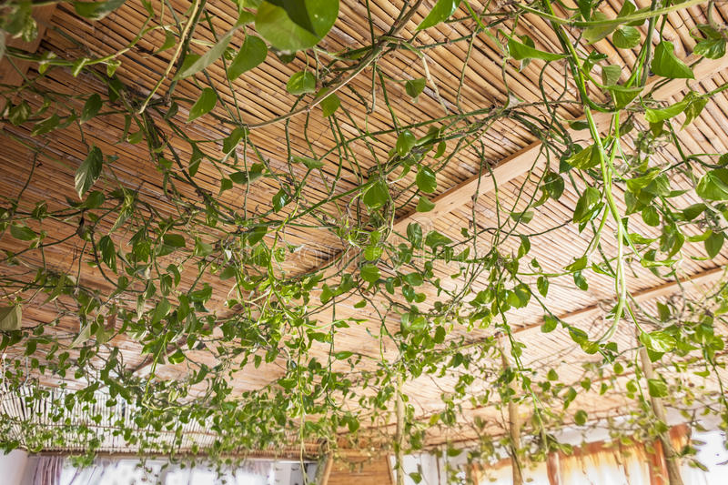 Green leaves ceiling. Cane and green leaves ceiling inside a country house stock photos
