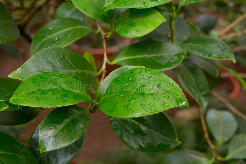 Green leaves of citrus tree with water drops stock photos