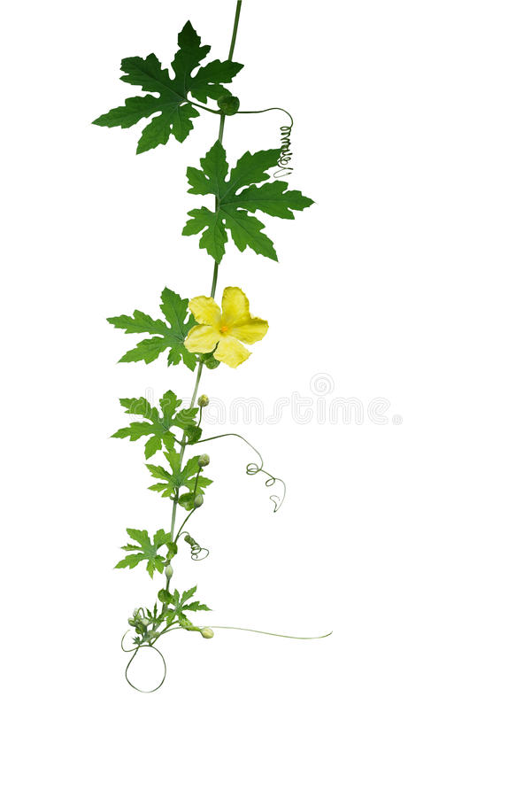 Green leaves climbing vine with tendrils and yellow flower isolated on white background, clipping path included. Bitter gourd, bi. Tter melon, a climbing stock photography