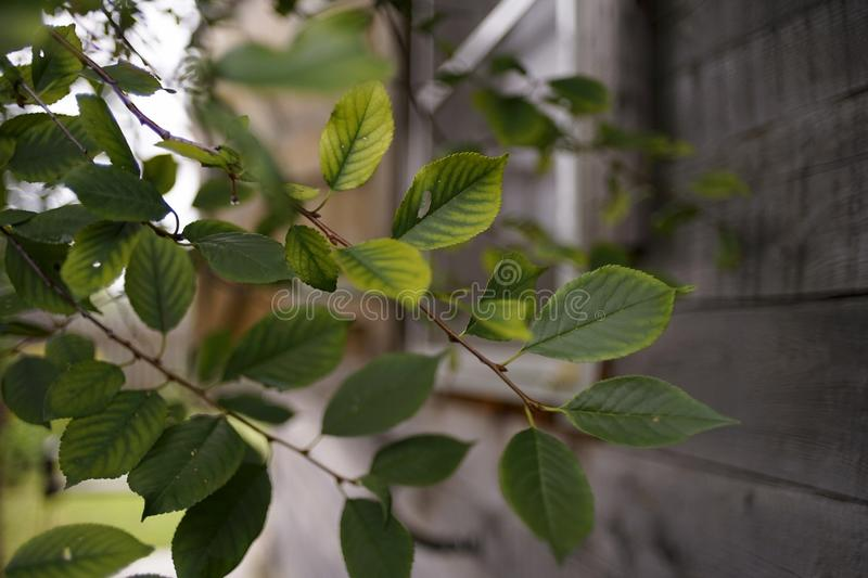 Green leaves close-up wood wall village house outdoor garden. Tree branch green leaves close-up wood wall village house outdoor garden plant spring summer day royalty free stock images