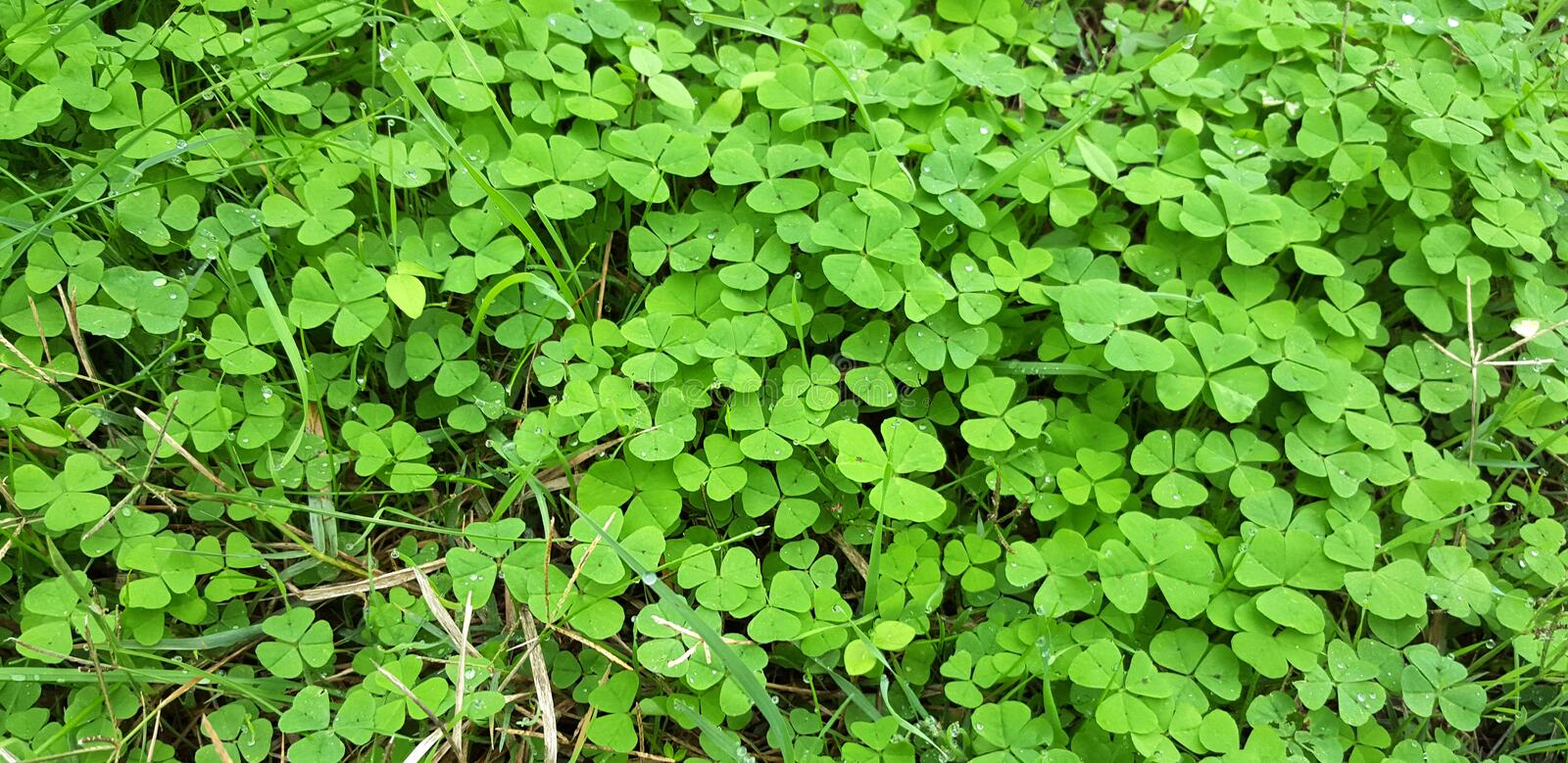 Green leaves of clover stock images