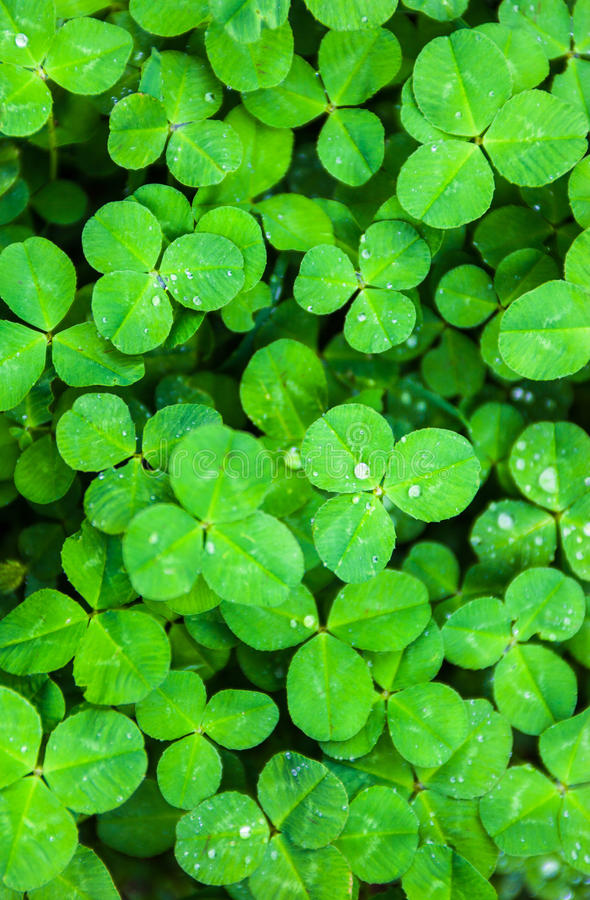 Green leaves of clover with drops of dew. The green carpet of bright and fresh clover leaves with drops of dew royalty free stock photos