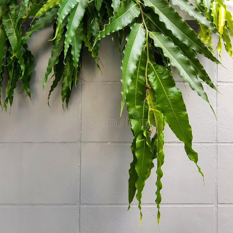 Green leaves cover white wall. Fence, home, house, garden, nature, outdoor, tree, plant, leaf, park royalty free stock photo