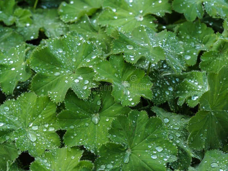 Green leaves covered with water droplets. Green leaves of a Geranium plant covered with water droplets after a rain shower stock images