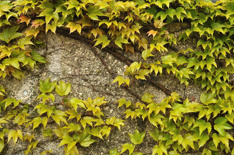 Green leaves of a creeping vine plant at wall in springtime royalty free stock images
