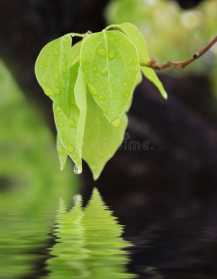 Free Green Leaves Dangle Over Pond With One Droplet On Tip Royalty Free Stock Photo - 102666685