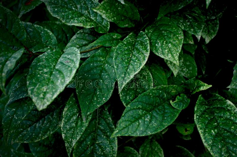 Green leaves on a dark background, nature, summer forest. Dark green foliage, abstract nature background. stock photos