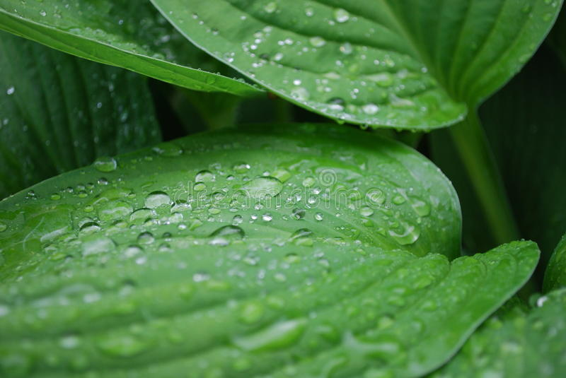 Green leaves with dew drops stock photos