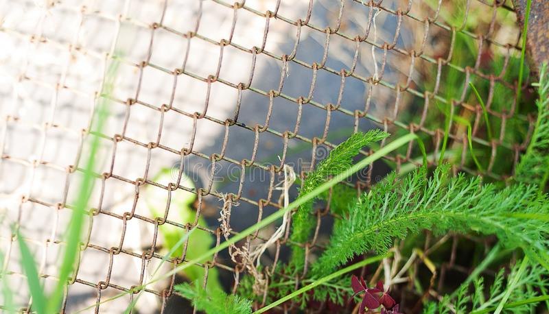 Green leaves entangled into old rusty wire mesh fence. Old rusty iron grid. Wire mesh grid texture. Grunge backdrop. Rustic stock photos