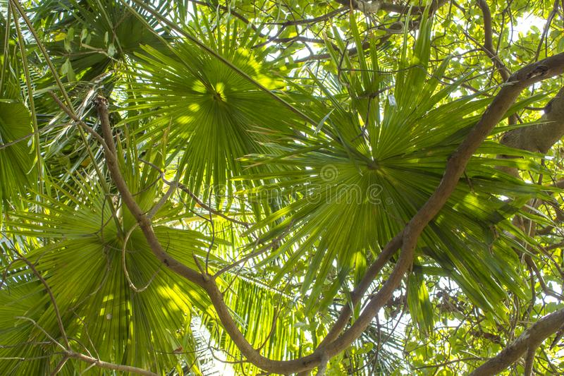 Green leaves of fan palms against the background of tree branches stock photos
