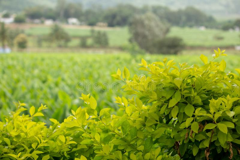 Green leaves with farm land in background, Hasanur, Tamil Nadu, India. Hasanur is a town in Talamalai Reserve Forest in Tamil Nadu - Karnataka State border stock photos