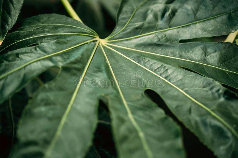 Green leaves of fatsia japonica in botanical garden.  stock photography