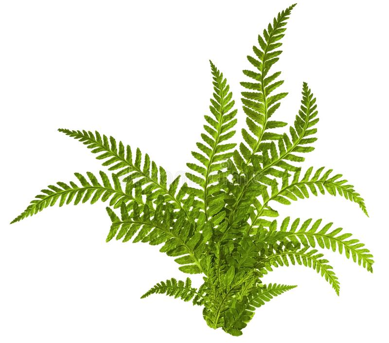 Green leaves of fern isolated on white royalty free stock photography