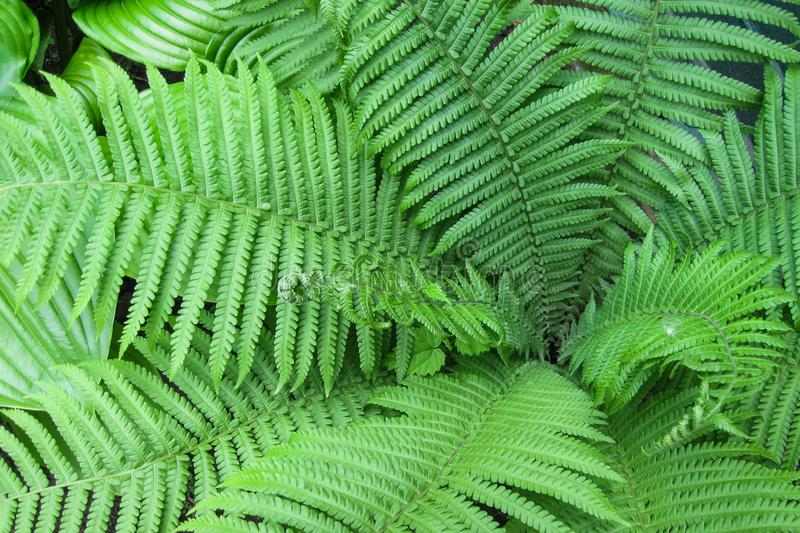 Green leaves of fern plant as nature background. Wild or garden tropical grass or forest  landscape royalty free stock image