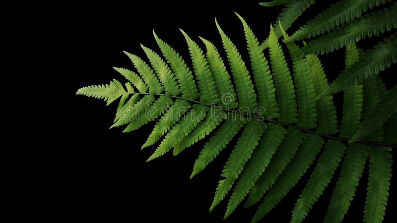 Green leaves fern tropical rainforest foliage plant on black background, clipping path included. royalty free stock images