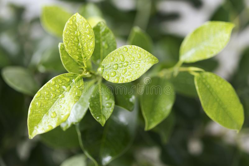 Green leaves of ficus with water drops stock images