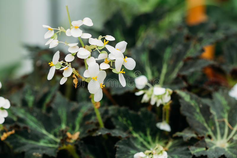 Green Leaves And Flower Of Plant Begonia Rex Putz, Commonly Know. N As King Begonia, Rex Begonia, Is A Rhizomatous Perennial From North India. It Is A Parent Of stock photography
