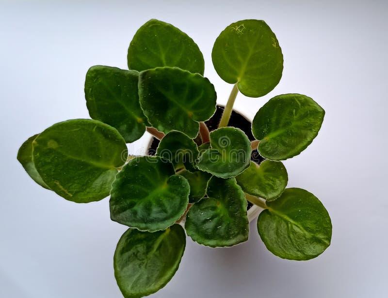 Green leaves flowerpot violet home plant stock image