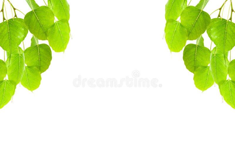 Green leaves frame(Pho leaf, bo leaf,bothi leaf)isolated on whit. E background stock photos