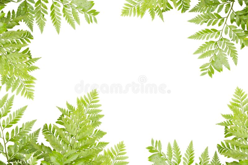 Green Leaves For Frame On White Background, Nature Border royalty free stock photo