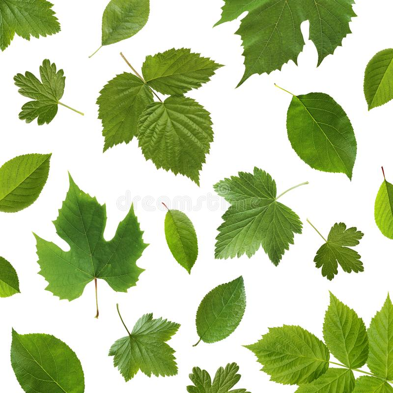 Green leaves garden fruit plants on a white background. stock image