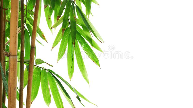 Green leaves of golden bamboo ornamental forest garden plant iso. Lated on white background, clipping path included stock image