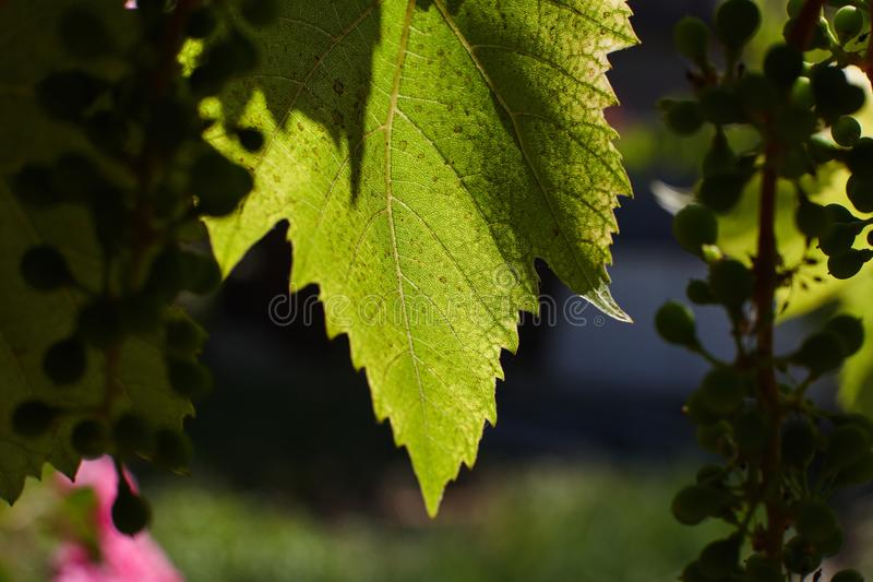 The green leaves of the grapes are illuminated by the rays of the sun`s backlight. royalty free stock images