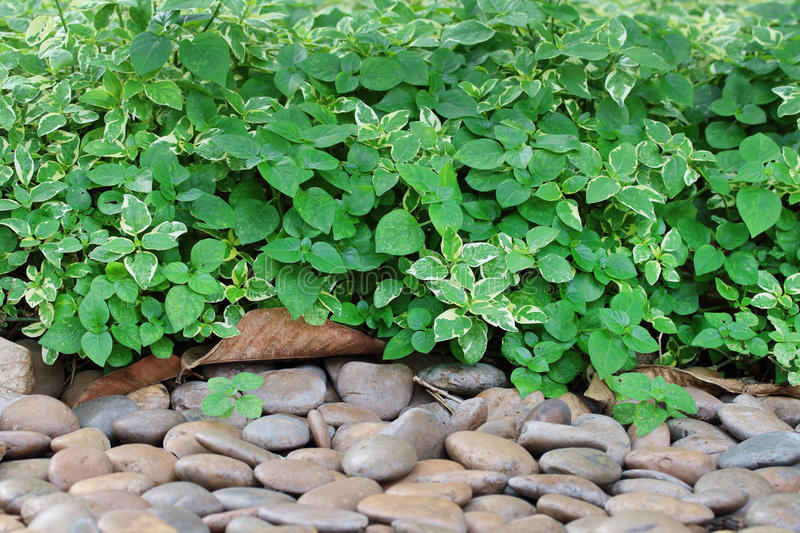 Green leaves and gravel. Green leaves and gravel in the garden stock images