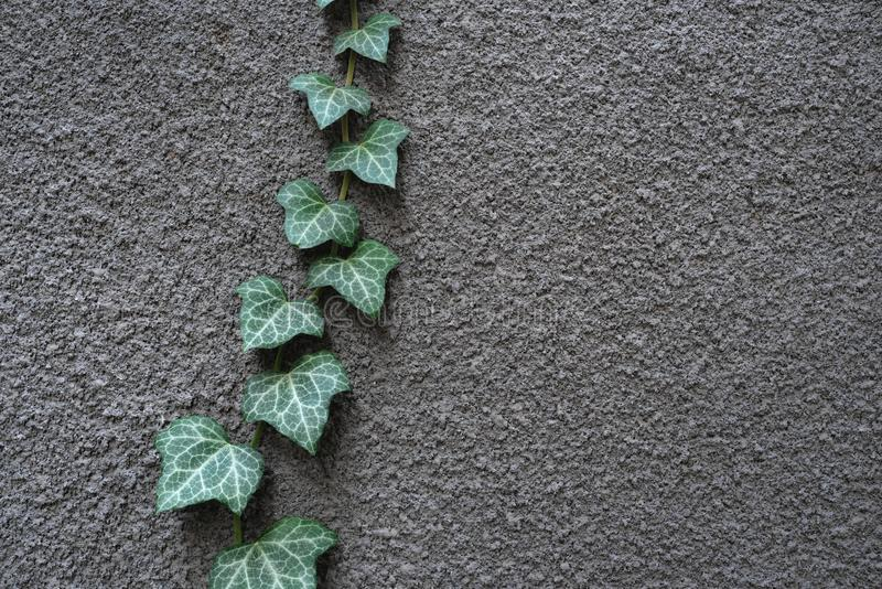 Gray wall with ivy. Green leaves on a gray wall. Natural ivory decor stock image