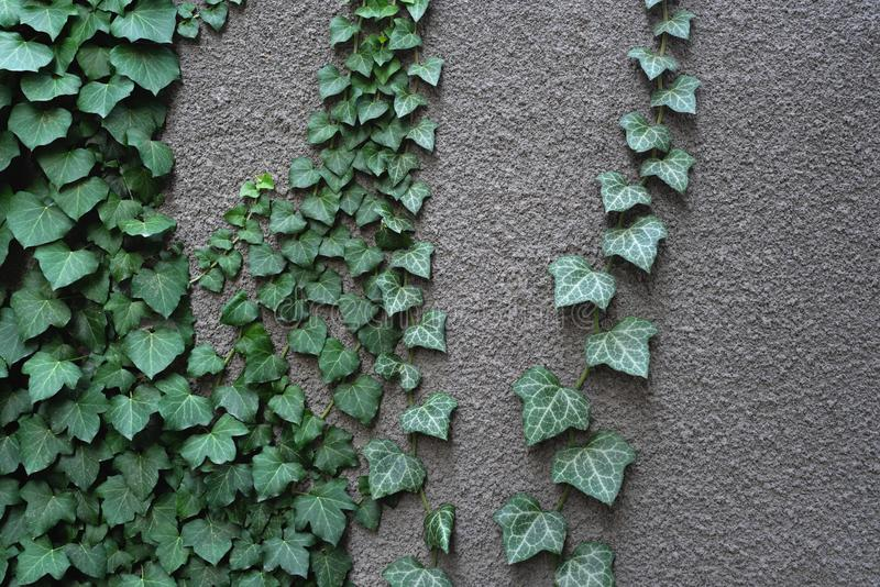 Gray wall with ivy. Green leaves on a gray wall. Natural ivory decor royalty free stock image