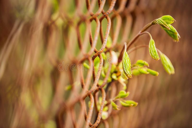 Green plant in rusty fence. Green leaves growing through metal rusty fence stock photos