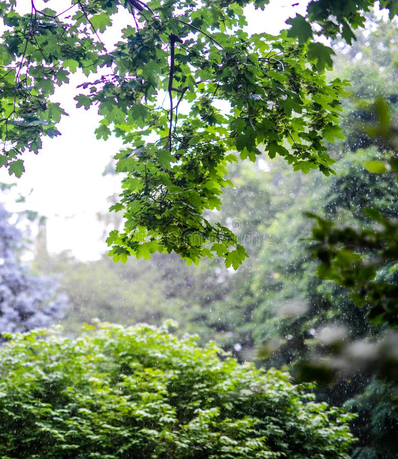 Green leaves growing in summer time during rain. A group of leaves growing on a tree while it is raining in the summer. Nice background bokeh. Sharp image. The royalty free stock image