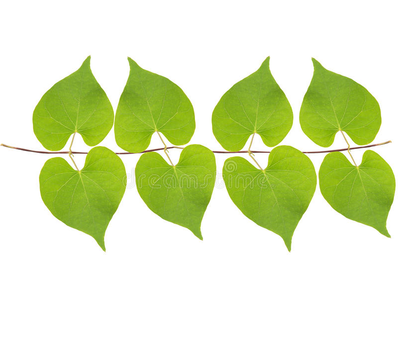 Green Leaves Hanging On Air Isolated White Royalty Free Stock Photo