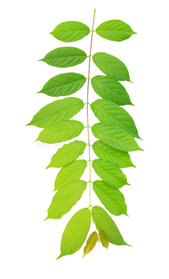 Download Green Leaves Hanging On Air Isolated On White Back Stock Photo - Image of freshness, green: 27604786