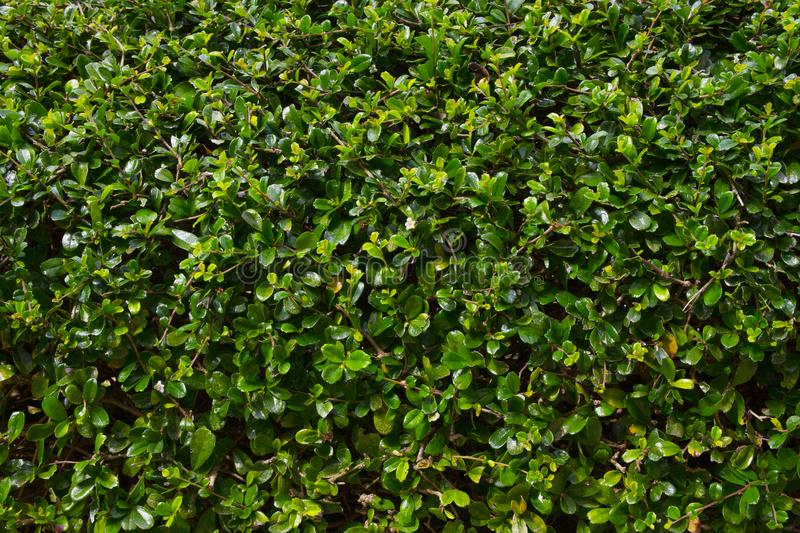 Green leaves hedge pattern Wrightia religiosa stock photo