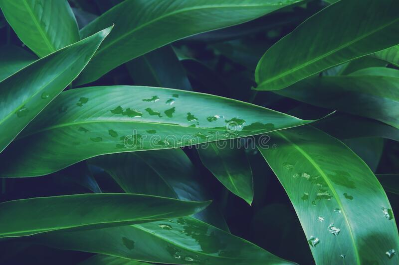 Green Leaves of Heliconia Plant with Raindrops in Dark Tone Color royalty free stock image