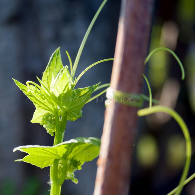 Green leaves of a hop plant on a neutral background in the garden. In sunny day stock image