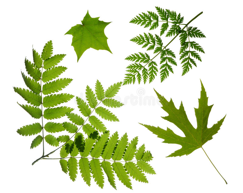 Green leaves isolated stock image