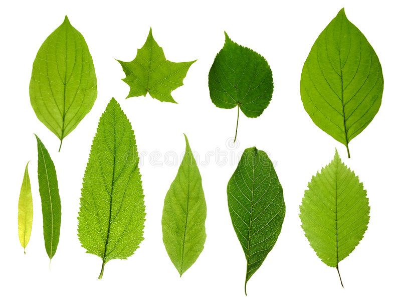 Green leaves isolated royalty free stock photos
