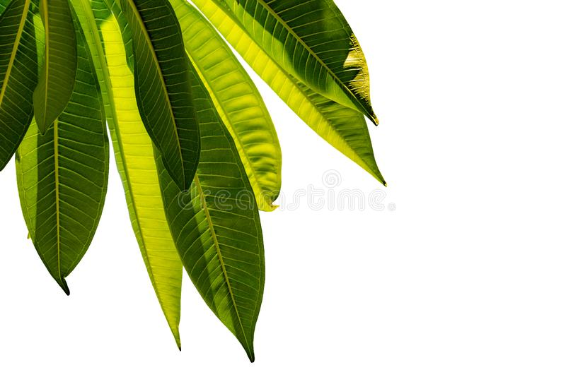 Green leaves isolated on white background for art design and decorative. Nature texture background. Love the earth concept. Leaf stock images