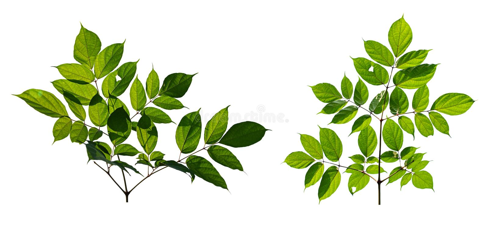 Green leaves isolated on white background. Clipping path include in this image.  royalty free stock photo
