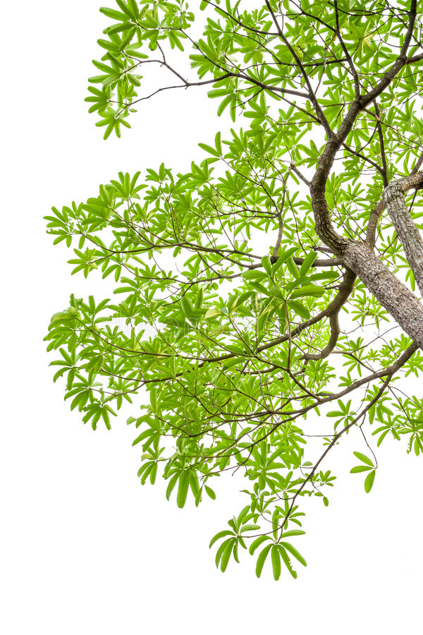 Green leaves isolated on white background, clipping path include royalty free stock photo